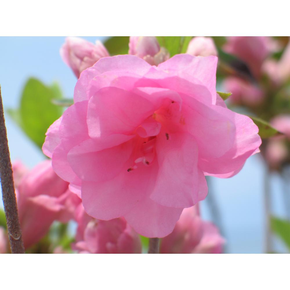 2 Gal. Azalea Rosebud Plant