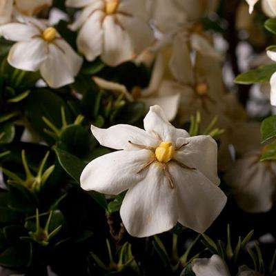 2.5 Qt. Scentamazing Gardenia, Live Evergreen Shrub, White Fragrant Blooms