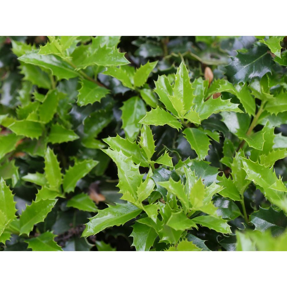1 Gal. Castle Keep Blue Holly Ilex Live Plant, Green Evergreen Foliage