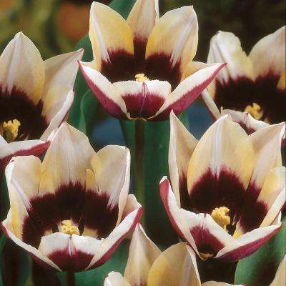 Tulips Bulbs Chansonnett (Set of 12)