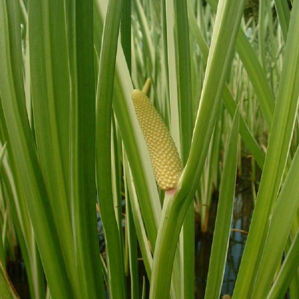 4 in. Potted Variegated Sweet Flag Aquatic Bog/Marginal Pond Plant
