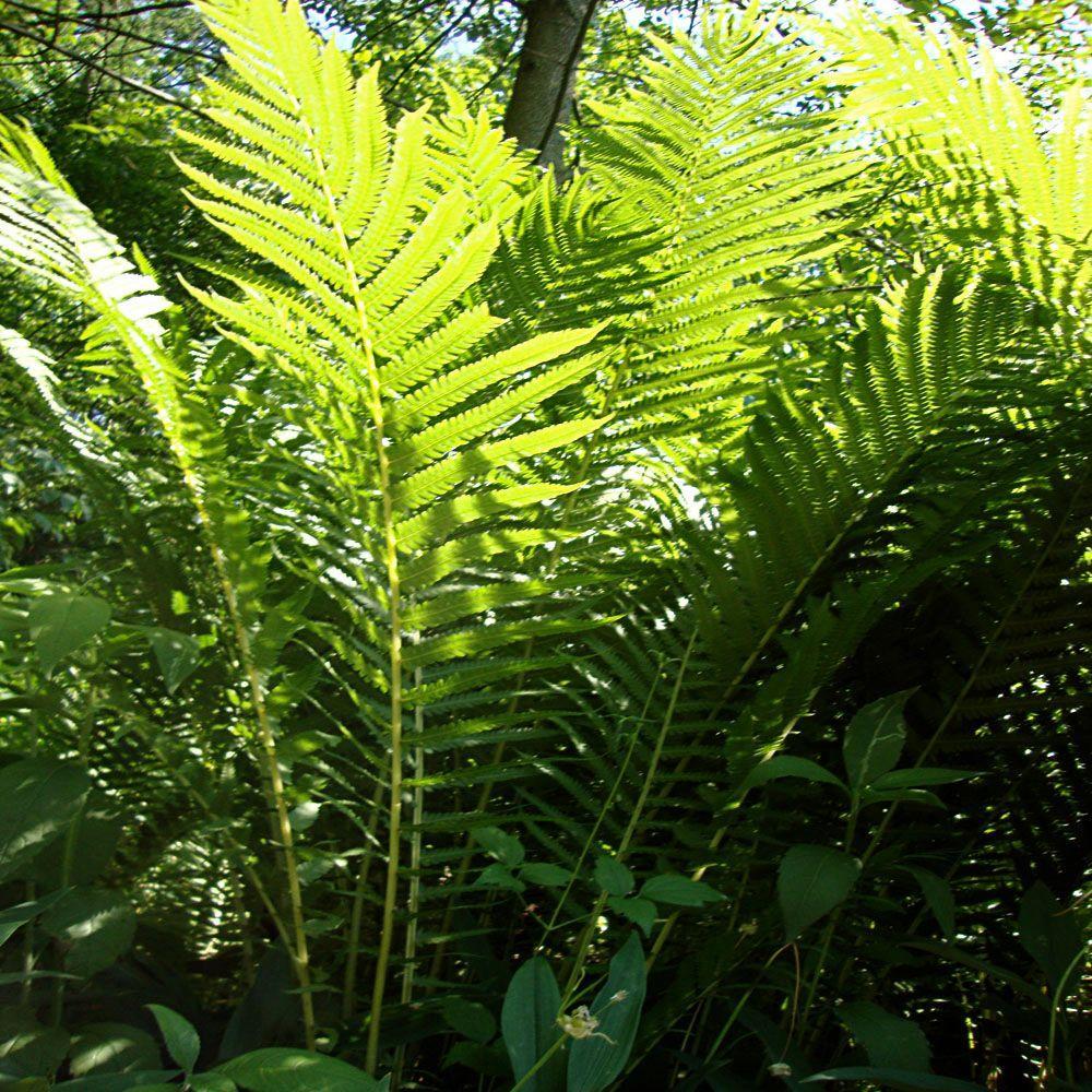 1 gal. Ostrich Fern Plant