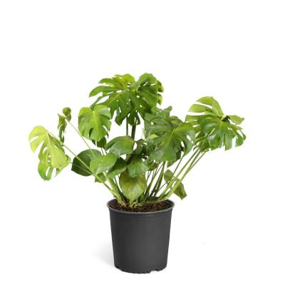 Swiss Cheese Plant (Monstera Deliciosa) in 3 Gal. Pot