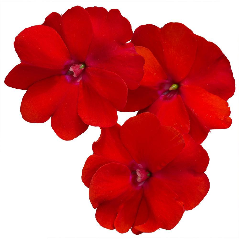 New Guinea Impatiens 1 Qt  Red Sunpatiens Flowers Blooming (8-Pack)