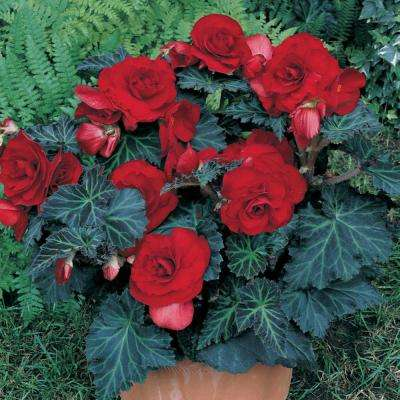 Specialty Begonias Bronze Leaf Red Bulbs (Set of 5)