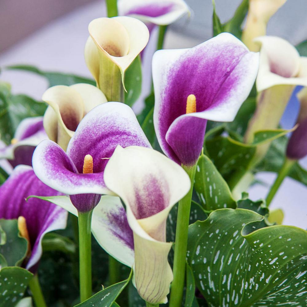 Breck's White and Purple Flowers Picasso Calla Lily Bulb (1-Pack)