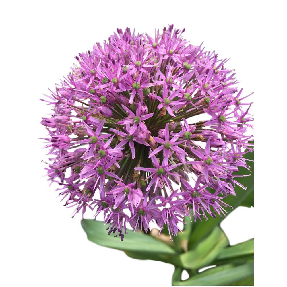 Purple Allium Sensation 25-Bulbs
