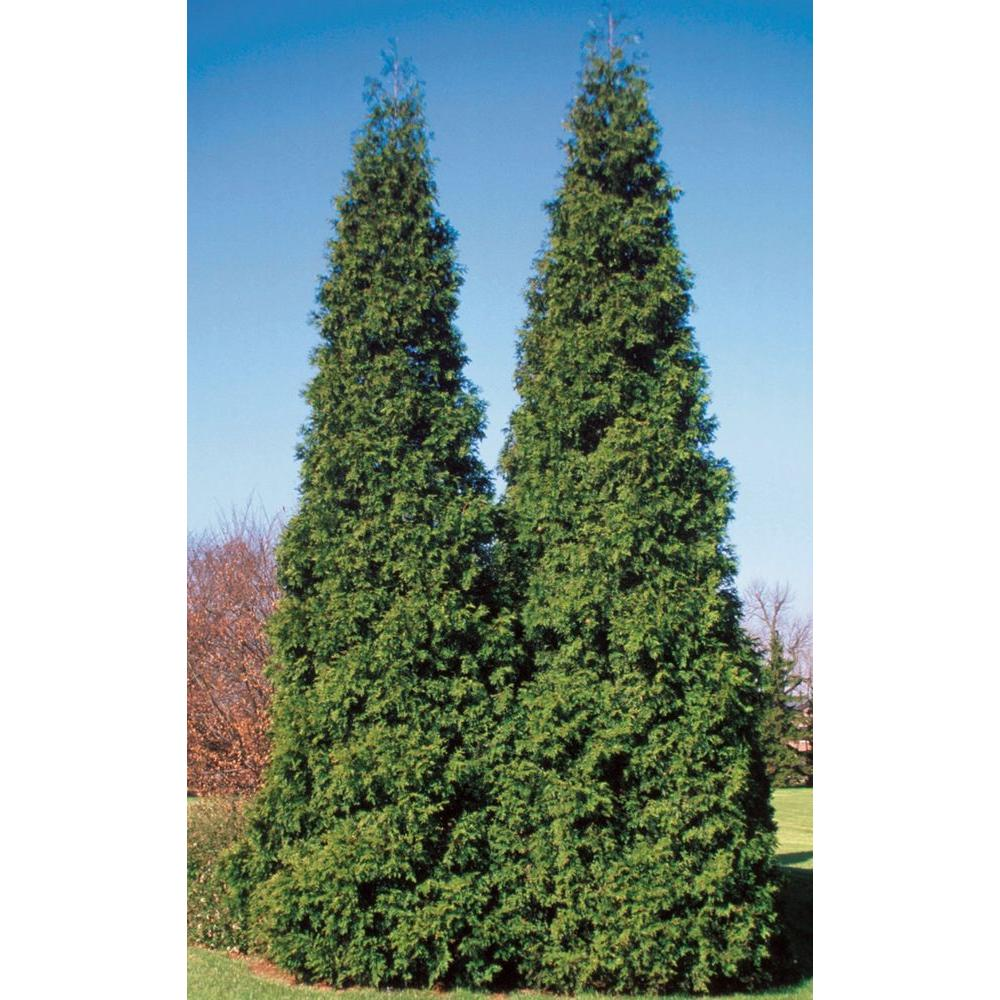 PROVEN WINNERS Spring Grove Western Arborvitae (Thuja) Live Evergreen Shrub, Green Foliage, 1 Gal.
