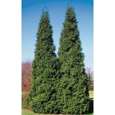 Spring Grove Western Arborvitae (Thuja) Live Evergreen Shrub, Green Foliage, 4.5 in. qt.