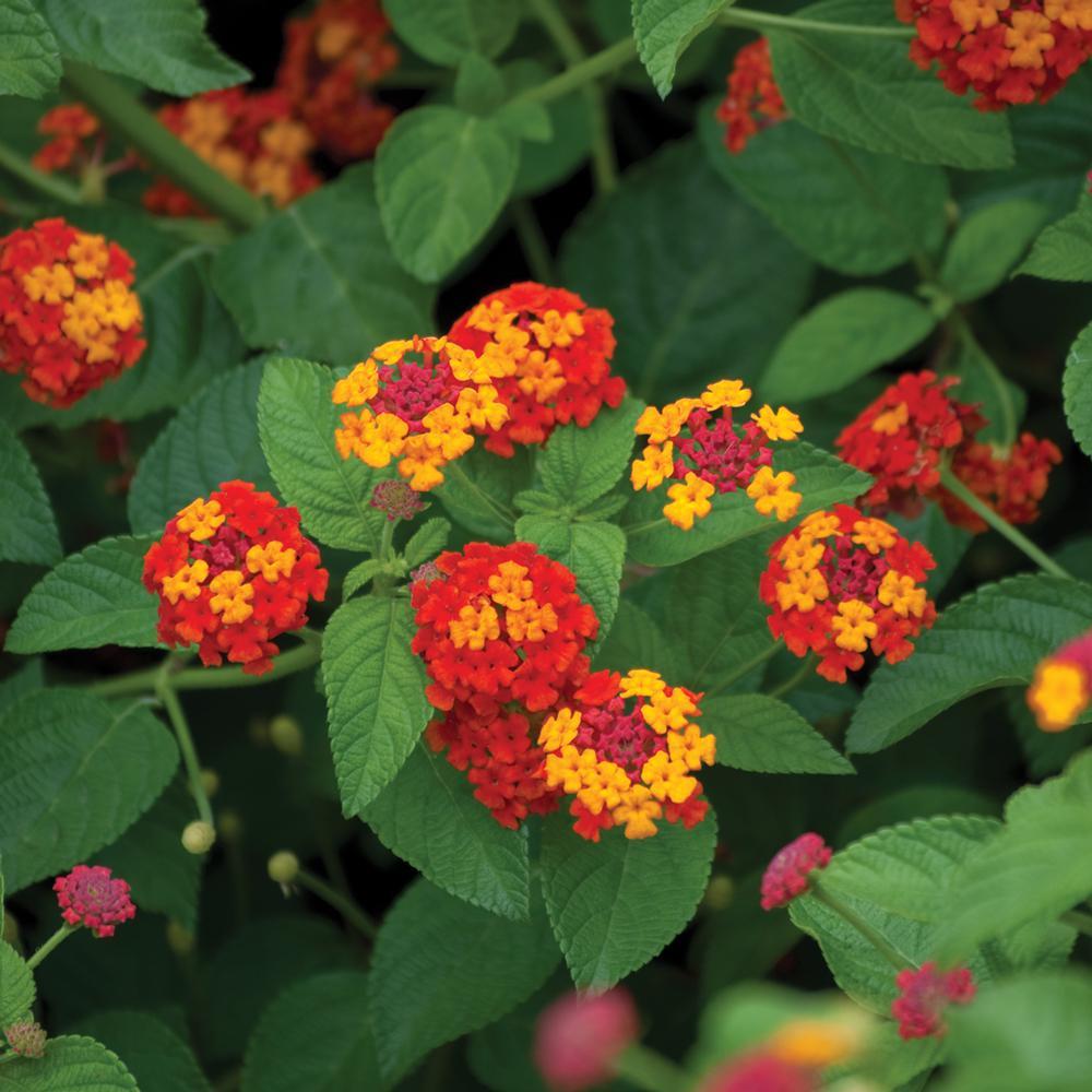 Lantana Plants Garden Flowers Garden Center The Home Depot
