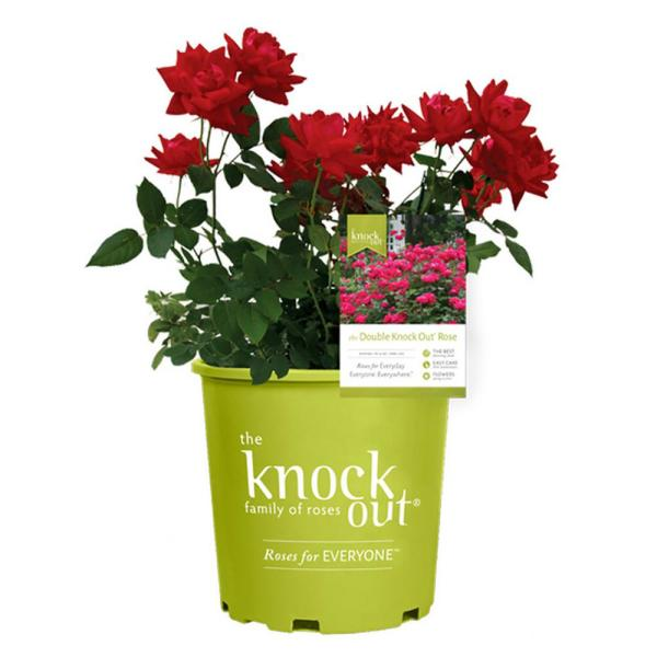2 Gal.Red The Double Knock Out Rose Bush with Red Flowers