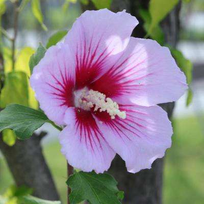 Hibiscus Shrubs Trees Bushes The Home Depot