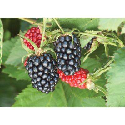 1  Gal. Apache Blackberry (Rubus), Live Fruiting Plant, Black Colored Berries with Green Foliage (1-Pack)