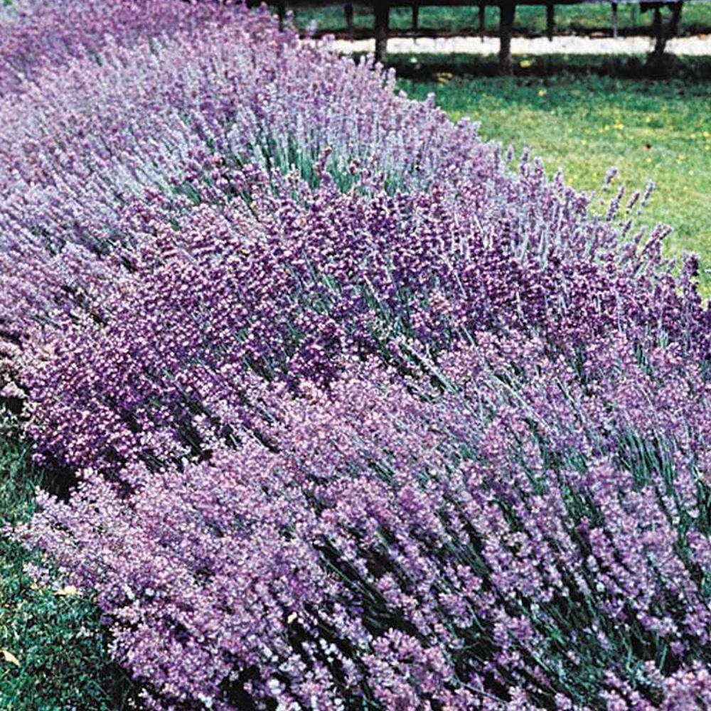Lavender Flower Home Depot
