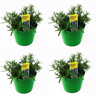 1.5 Qt. Herb Plant Tuscan Rosemary in 6 In. Deco Pot (4-Plants)