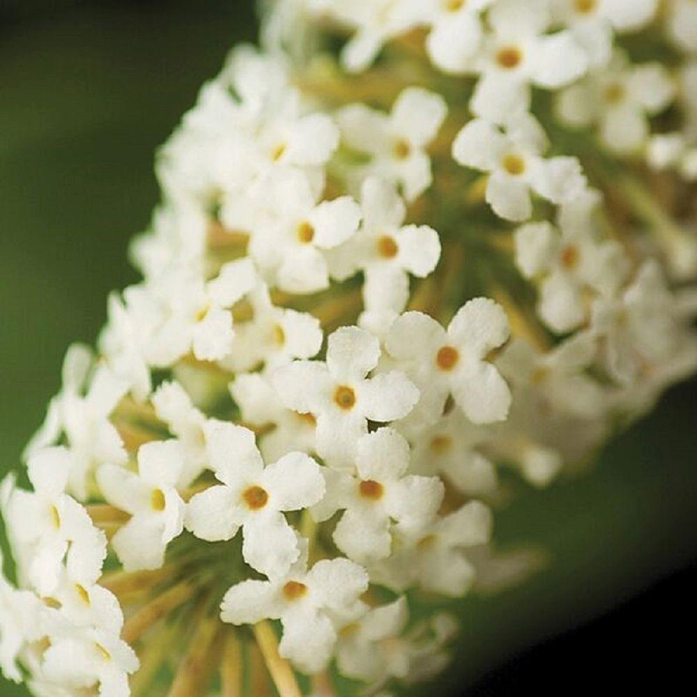 3 Gal. Ivory Buzz Buddleia With Soft White Panicle Bloom Clusters,