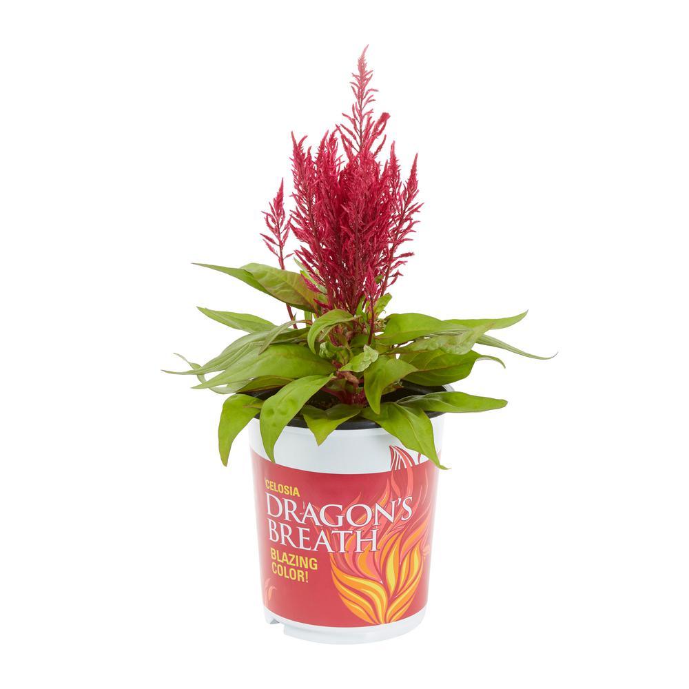 2.5 Qt. Dragons Breath Red Celosia Annual Plant