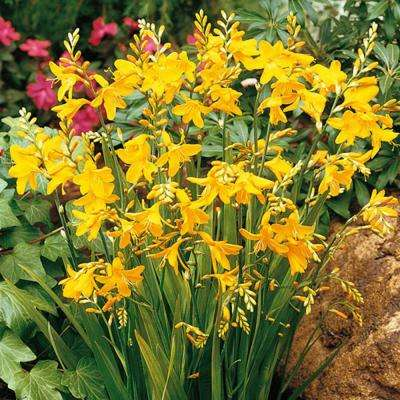 Crocosmia George Davidson Bulbs (25-Pack)
