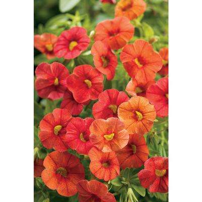 Superbells Dreamsicle (Calibrachoa) Live Plant, Orange Flowers, 4.25 in. Grande, 4-pack