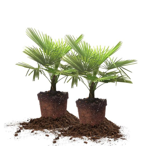 #3 Windmill Palm (2-Pack)