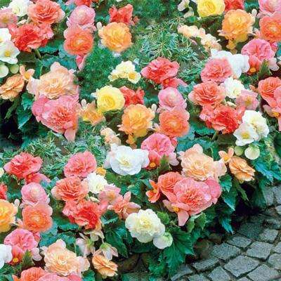 Non-Stop Begonia Mix Bulbs (3-Pack)