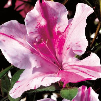2 Gal. Autumn Twist Encore Azalea Shrub with Purple and White Reblooming Flowers
