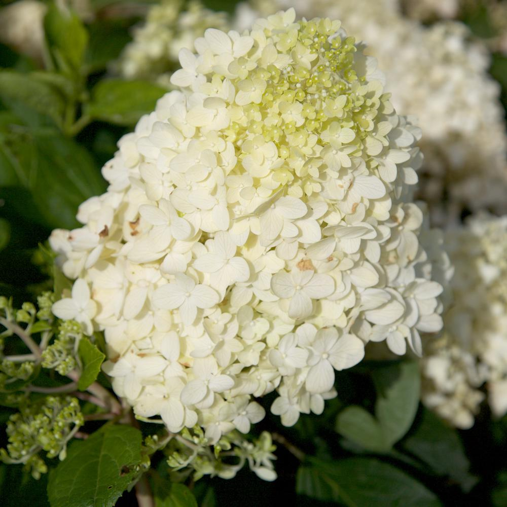 Southern Living Plant Collection 3 Gal Moon Dance Hydrangea Shrub