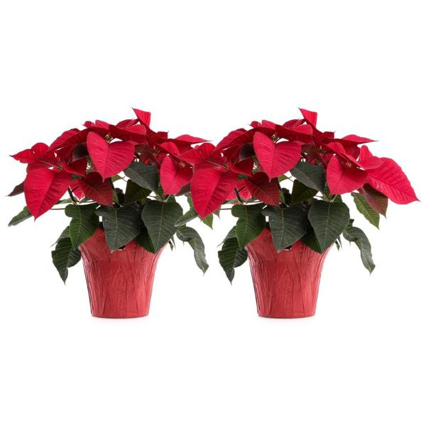 Unbranded 6 In Red Poinsettia Holiday Plants 2 Pack Poiassrr8 6po2 The Home Depot