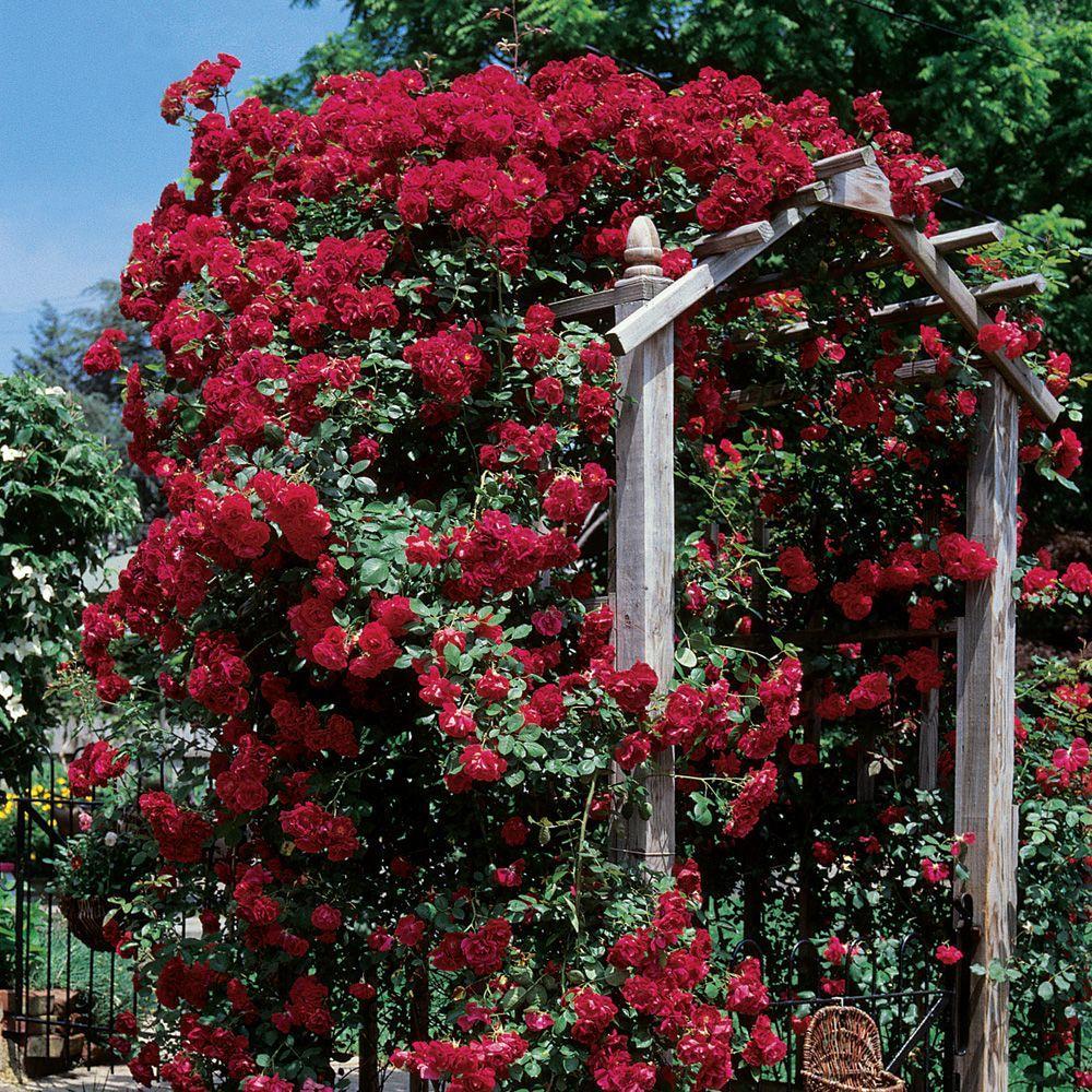 Mea Nursery Climbing Rose Blaze