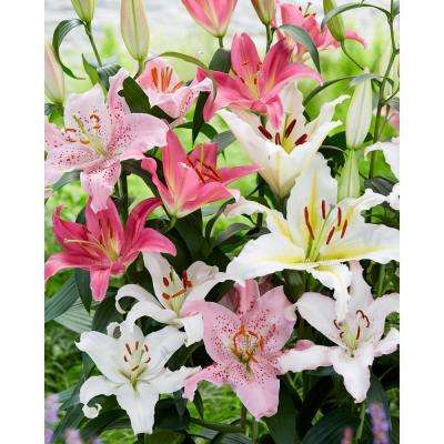 Oriental Lily Mixed Bareroot 5 Pack
