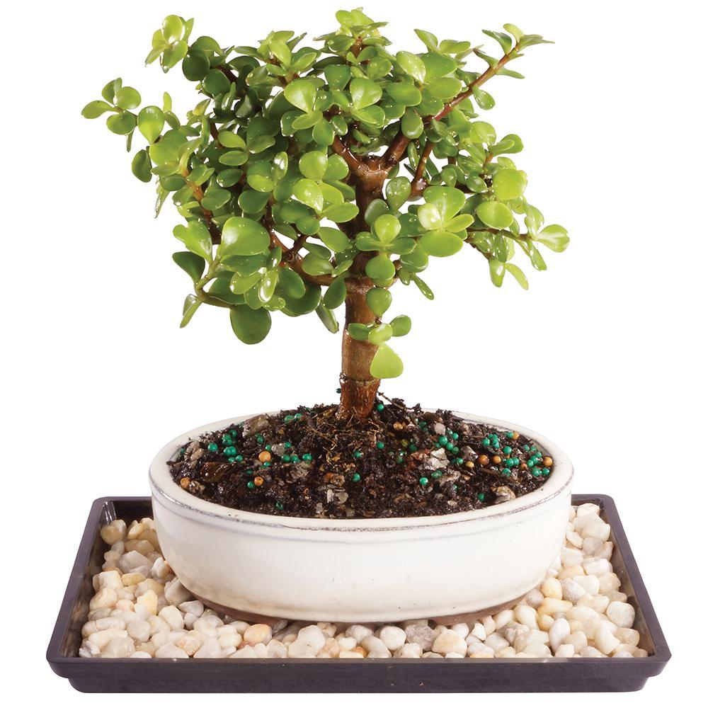 Dwarf Jade Tree
