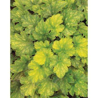 Dolce Key Lime Pie Heuchera 4.5 in. Quart