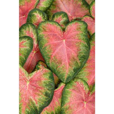 4.5 in. Quart Heart to Heart Rose Glow (Caladium) Live Plant in Pink and Green Foliage