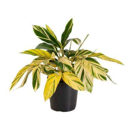Variegated Ginger Plant in 9.25 in. Grower Pot