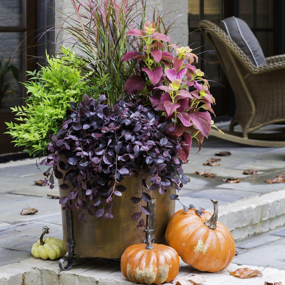 Southern Living Furniture Collection: Southern Living Plant Collection 2.5 Qt. Purple Pixie