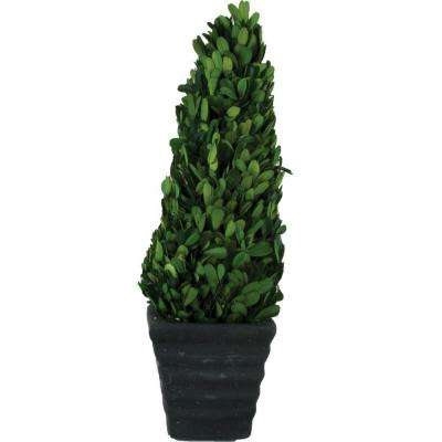 3.5 in. W x 12 in. H Preserved Boxwood Cone in Black Terracotta Pot