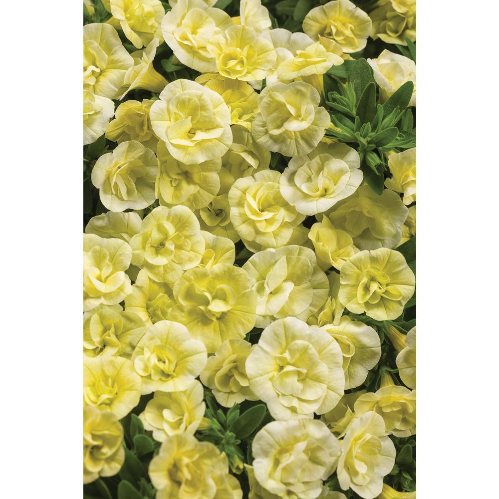 PROVEN WINNERS 4.25 in. Grande Yellow Flowers Superbells Double Chiffon Calibrachoa Live Plant (8-Pack)
