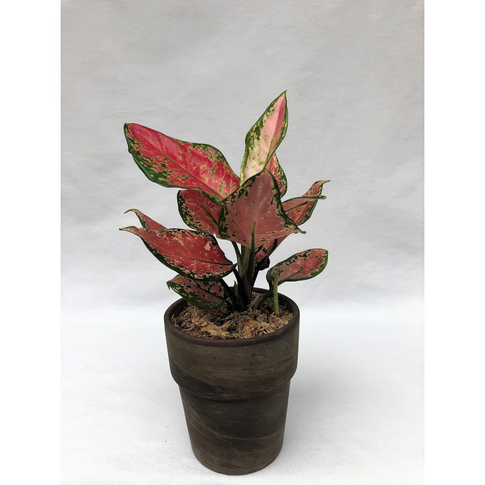 3.5 in. Aglaonema Venus in Grower Pot