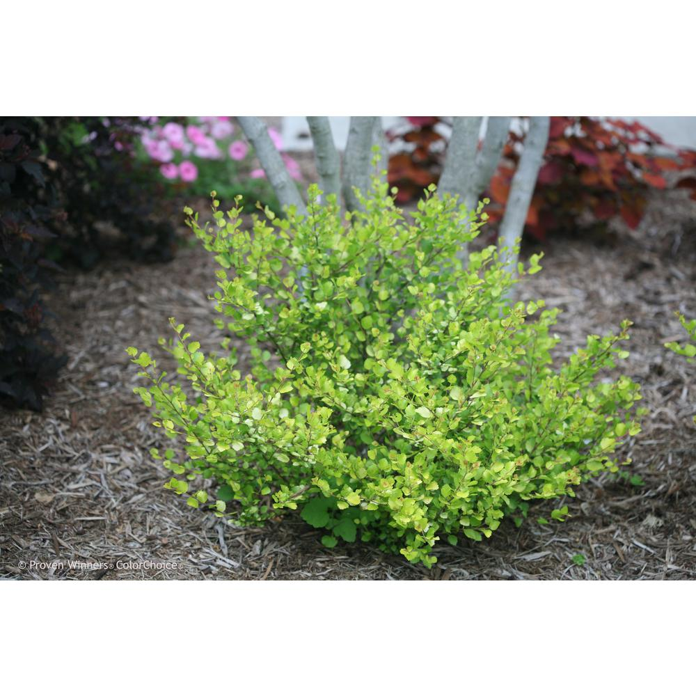 Proven Winners 4.5 in. qt. Cesky Gold Dwarf Birch (Betula) Live Shrub, Gold, Orange, and Yellow Foliage