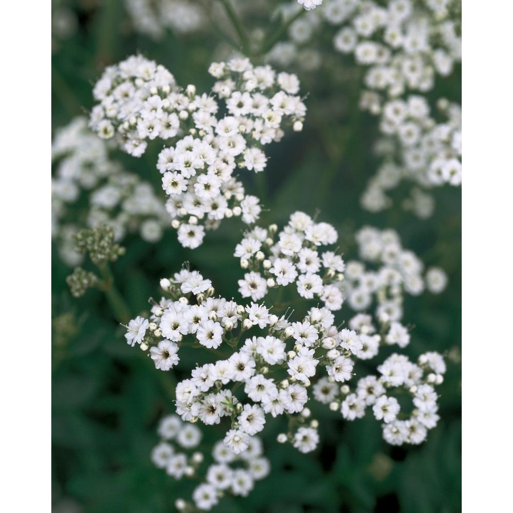Proven Winners Festival Star Hardy Baby S Breath