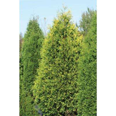 Polar Gold Arborvitae (Thuja) Live Evergreen Shrub, Yellow Foliage, 4.5 in. qt.