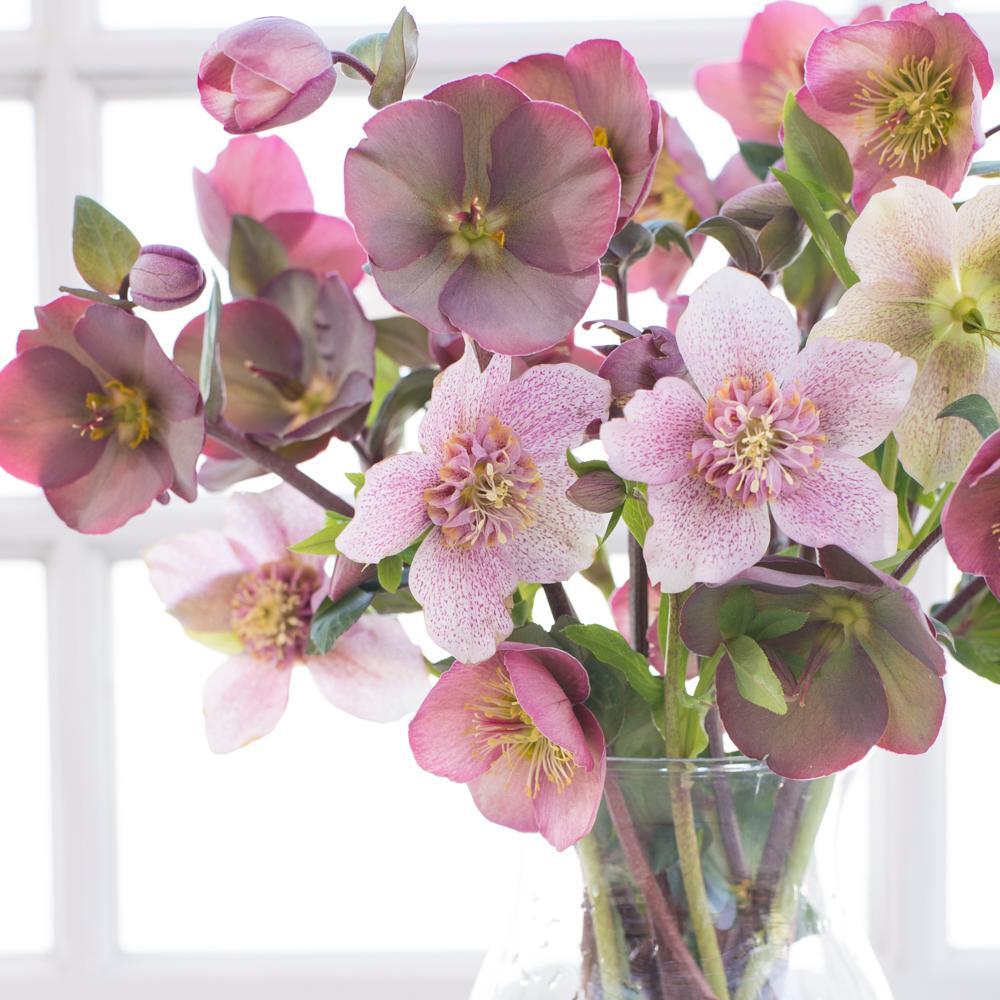 Assorted mix full shade perennials garden plants flowers 250 qt pot pennys pink lenten rose helleborus live perennial plant mightylinksfo