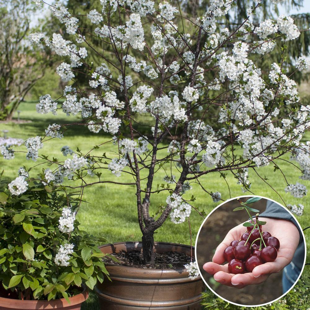 4 in. Pot Romeo Dwarf Bush Cherry Prunus, Live Potted Fruiting Tree (1-Pack)