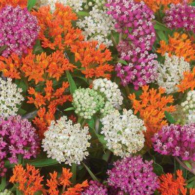 Mixed Colors Asclepias Monarch Blend Bulbs (9-Pack)