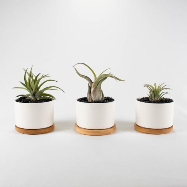 Tropicalplants Com Air Plant Trio Tillandsias Live Plants In 3 3 In Round White Color Ceramic Pot Set W White Stone 3 Pack Fortirouwh03 The Home Depot