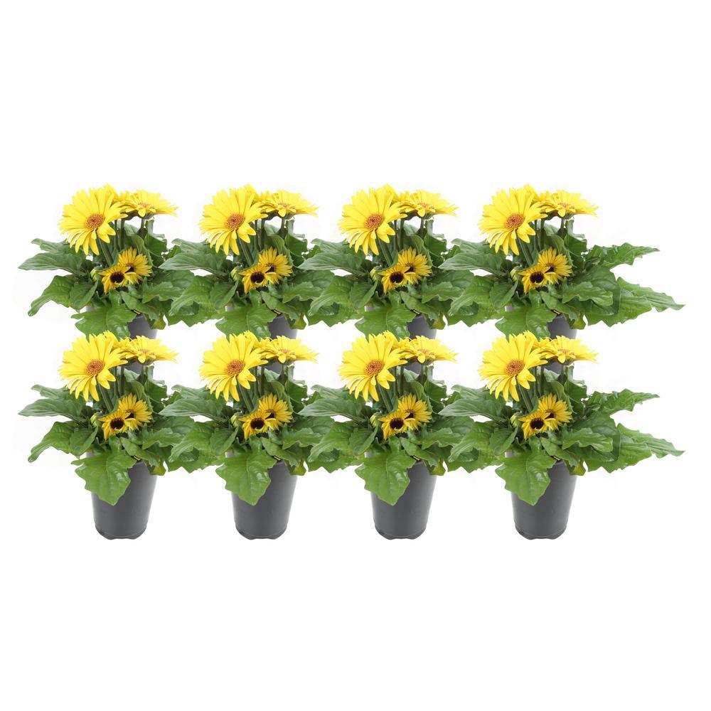 1 Qt. Yellow Gerbera Flowers in Grower's Pot (8-Pack)