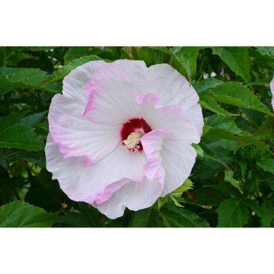 Hibiscus garden plants flowers garden center the home depot summerific mightylinksfo