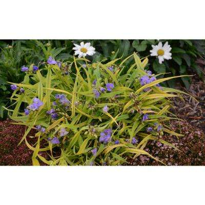 1 Gal. Charlotte's Web Spiderwort (Tradescantia) Live Plant, Blue Flowers and Gold-Green Foliage