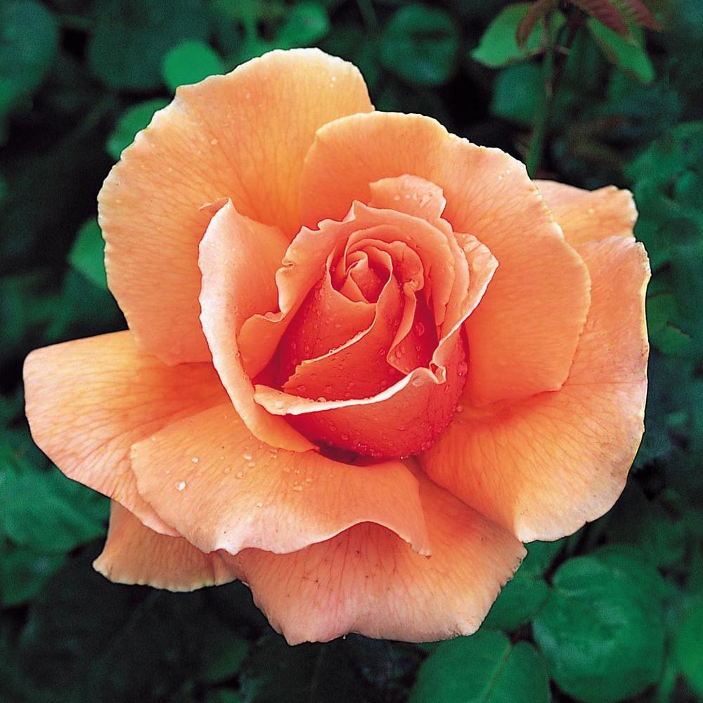 Mea Nursery Fragrant Just Joey Hybrid Tea Rose with Peach Colored Flowers was $27.98 now $11.49 (59.0% off)