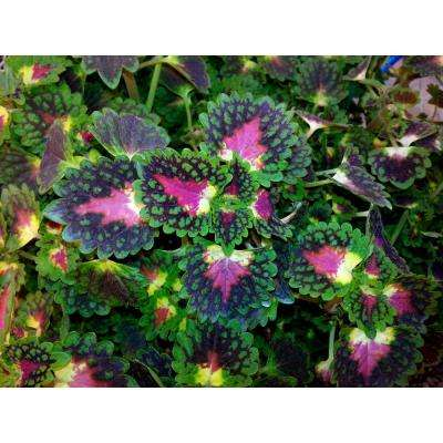 Strawberry Drop Coleus (Solenostemon) Live Plant, Green, Yellow, and Red Foliage, 4.25 in. Grande, 4-pack